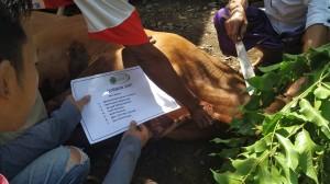 Foto dokumentasi penyembelihan hewan qurban